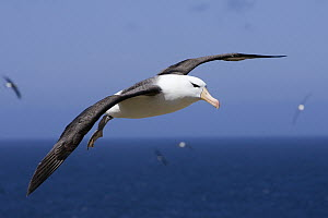 Black-browed Albatross (Thalassarche melanophrys) flying, endangered, Steeple Jason, Falkland Islands  -  Suzi Eszterhas