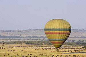 Hot air balloon flying over wildebeest herd, Masai Mara Triangle, Kenya  -  Suzi Eszterhas