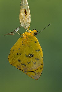 Cloudless Sulphur butterfly (Phoebis sennae) emerging from chrysalis, Costa Rica - Ingo Arndt