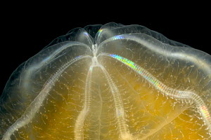Ctenophore (Beroe cucumis) detail showing typical symmetrical combs made of cilia and bioluminescent cells, Weddell Sea, Antarctica - Ingo Arndt