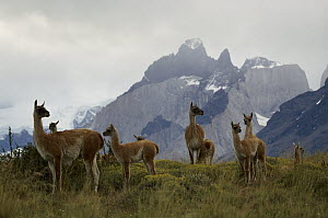 Guanaco (Lama guanicoe) group in front of the Cuerno Peaks, Torres del Paine National Park, Patagonia, Chile  -  Ingo Arndt