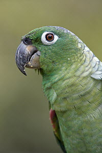 Mealy Parrot (Amazona farinosa) close up portrait, Amazon ecosystem, Peru  -  Ingo Arndt