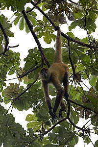 Black-handed Spider Monkey (Ateles geoffroyi) hanging by its prehensil tail in forest canopy, Santa Rosa National Park, Costa Rica  -  Ingo Arndt