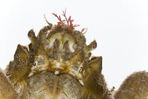 Great Spider Crab (Leptomithrax gaimardii) face covered with algae detail approximately three centimeters, Helgoland, Germany  -  Ingo Arndt