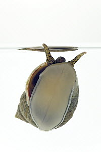 Common Periwinkle (Littorina littorea) underside shell length is approximately two centimeters, Helgoland, Germany  -  Ingo Arndt