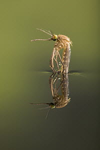 Mosquito (Aedes sp) hatching on waters surface, Germany  -  Ingo Arndt