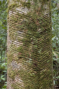 Old Rubber Tree in rainforest showing scars from tapping, Yavari River, Amazon Basin  -  Ingo Arndt