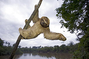 Brown-throated Three-toed Sloth (Bradypus variegatus) hanging in tree, Amazon, Peru  -  Ingo Arndt