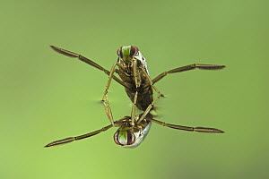 Water Boatman (Notonecta glauca) with reflection underwater, a true bug of the Heteroptera suborder, Europe  -  Ingo Arndt