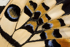 Common Lime (Papilio demoleus) butterfly wing detail showing false eyespot, Asia - Ingo Arndt