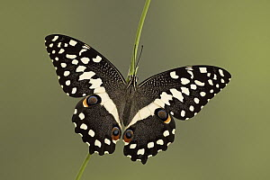Common Lime (Papilio demoleus) butterfly, southern Asia - Ingo Arndt