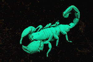 Emperor Scorpion (Pandinus imperator) photographed under ultraviolet light, Africa  -  Ingo Arndt