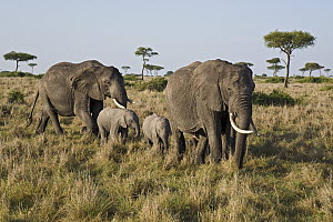African Elephant (Loxodonta africana) adults with calves, Masai Mara National Reserve, Kenya - Ingo Arndt