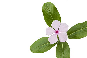 Rosy Periwinkle (Catharanthus roseus) in bloom, plants are harvested for medicinal use, Madagascar - Ingo Arndt