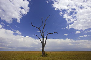 Savannah with dead acacia tree, Masai Mara National Reserve, Kenya - Ingo Arndt
