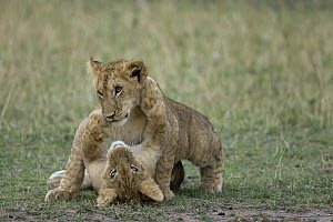African Lion (Panthera leo) juveniles play fighting, Masai Mara National Reserve, Kenya  -  Ingo Arndt