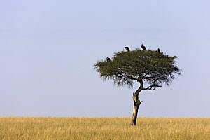 Lappet-faced Vulture (Torgos tracheliotus) group sitting on top of acacia tree in savannah, Masai Mara National Reserve, Kenya - Ingo Arndt