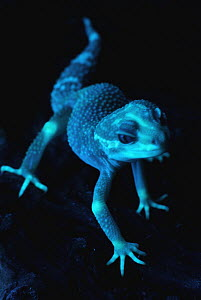Leopard Gecko (Eublepharis macularis) albino photographed under ultraviolet light, showing strong fluorescence at the knees, fingers, and in the face, native to Asia - Albert Lleal