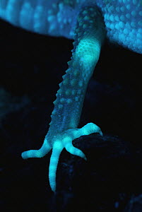 Leopard Gecko (Eublepharis macularis) back leg photographed under ultraviolet light, showing strong fluorescence at the knee, and fingers, native to Asia - Albert Lleal