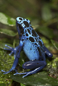 Blue Poison Dart Frog (Dendrobates azureus) portrait, native to Surinam  -  Albert Lleal