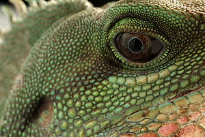 Water Dragon (Physignathus cocincinus) face, native to southeast Asia - Albert Lleal
