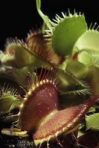 Venus Fly Trap (Dionaea muscipula) leaves that act as traps, native to the southeastern United States - Albert Lleal