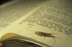 Silverfish (Lepisma saccharina) on book, Spain - Albert Lleal