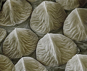 Western Diamondback Rattlesnake (Crotalus atrox) SEM close-up of keeled scales on the head at 14x magnification  -  Albert Lleal