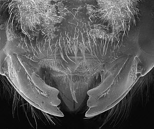 Carpenter Bee (Xylocopa violacea) SEM close-up of mandibles of at 14x magnification - Albert Lleal