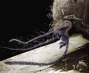 Mosquito (Aedes sp) SEM close-up of the head of a female showing the modified ovipositor used to obtain blood from host species, an appendage which does not exist among males  -  Albert Lleal