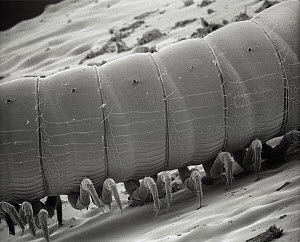 SEM close-up of a millipede at 70x magnification showing 2 pair of legs per body section, the attribute distinguishing this group from centipedes which have but a single pair of legs per section - Albert Lleal