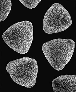 Common Nasturtium (Tropaeolum majus) SEM close-up view of pollen grains at 1050x magnification - Albert Lleal
