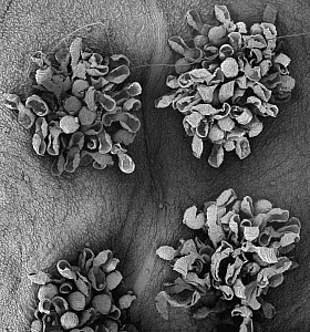 Common Fern (Polypodium sp) SEM close-up view of sori at 21x magnification  -  Albert Lleal