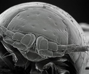 SEM close-up view of a Intertidal Crustacean at 70x magnification, an unidentified species, found on Kihim Beach, Mumbai, India  -  Albert Lleal