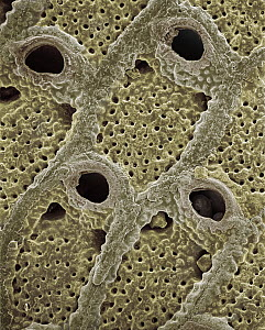 SEM close-up view of a skeletal fragment of a Bryozoan colony at 21x magnification, came from beach in Formentera, Balearic Islands, Spain - Albert Lleal