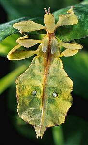 Celebes Leaf Insect (Phyllium celebicum), native to southeast Asia  -  Albert Lleal