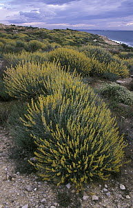 Albaida (Anthyllis cytisoides) growing in sandy soils along the coast of the Mediterranean Sea, Tarragona, Spain - Albert Lleal