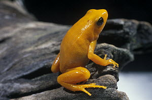 Golden Mantella (Mantella aurantiaca) frog, critically endangered species native to Madagascar - Albert Lleal