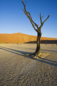 Acacia (Acacia sp) trees in Dead Veil, a dry clay pan that after rare rains fills with water, Namib-Naukluft National Park, Namibi Desert, Namibia - Theo Allofs