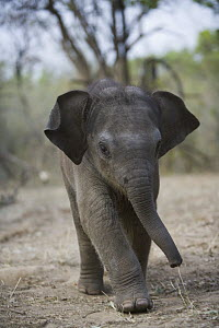 Asian Elephant (Elephas maximus) 4 week old calf of a female trained as a working elephant for tourism and tiger tracking, India  -  Theo Allofs