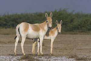 Indian Wild Ass (Equus hemionus khur) mother with foal in clay pan during the dry season, Indian Wild Ass Sanctuary, Little Rann of Kutch, India - Theo Allofs