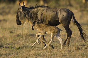 Blue Wildebeest (Connochaetes taurinus) mother and 1 to 3 days old calf running, Masai Mara, Kenya  -  Suzi Eszterhas