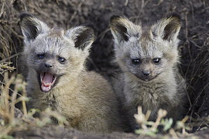 Bat-eared Fox (Otocyon megalotis) pups outside of den, Masai Mara, Kenya - Suzi Eszterhas
