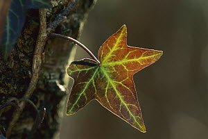 English Ivy (Hedera helix) leaf, Switzerland - Thomas Marent