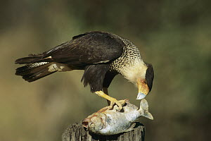 Crested Caracara (Caracara cheriway) feeding on scavenged fish, Venezuela  -  Thomas Marent