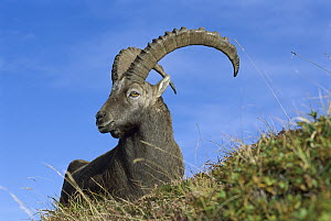 Alpine Ibex (Capra ibex) male, Switzerland - Thomas Marent