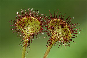 Common Sundew (Drosera rotundifolia), Switzerland - Thomas Marent