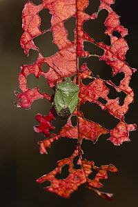 Green Shield Bug (Palomena prasina) on leaf it has partially consumed, Black Forest, Germany - Thomas Marent
