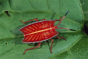 Red Stink Bug (Pycanum rubeus) nymph, Sepilok, Borneo, Malaysia  -  Thomas Marent