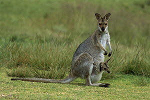 Red-necked Wallaby (Macropus rufogriseus) mother with baby, Bunya Mountains National Park, Australia  -  Thomas Marent